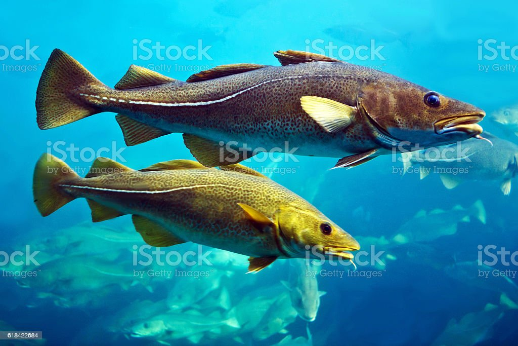 Cod fishes floating in aquarium, Alesund, Norway. royalty-free stock photo
