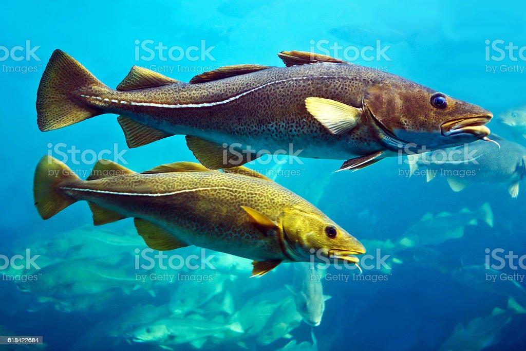 Cod fishes floating in aquarium, Alesund, Norway. - fotografia de stock