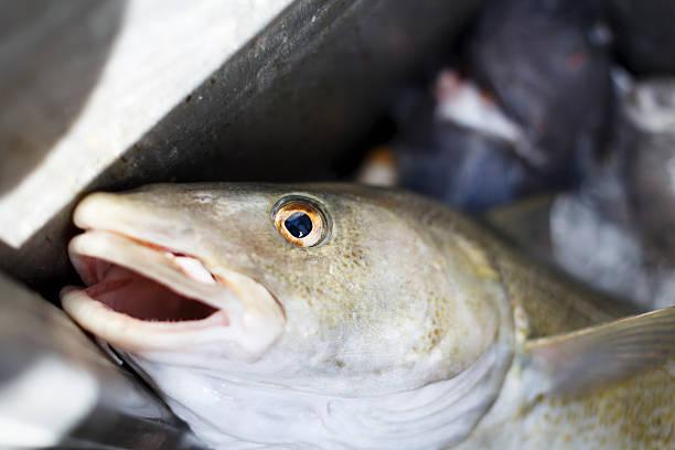 Codfish. stock photo