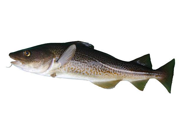 bacalhau - cod imagens e fotografias de stock
