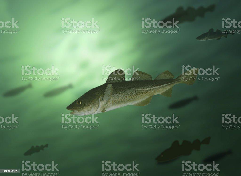 codfish - foto de stock