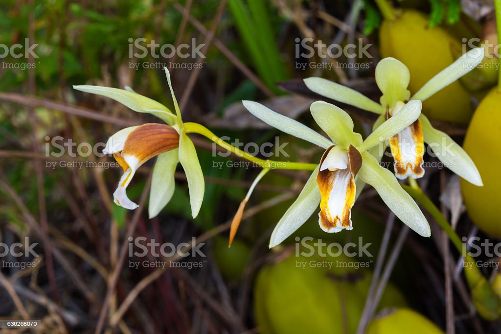 Coelogyne trinervis  Lindl, ORCHIDACEAE. stock photo