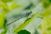 damselfly is perched on leaf of bramble