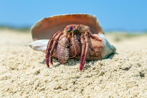 Coenobita perlatus. Hermit crabs mollusc on the Maldives Wildlife Beach