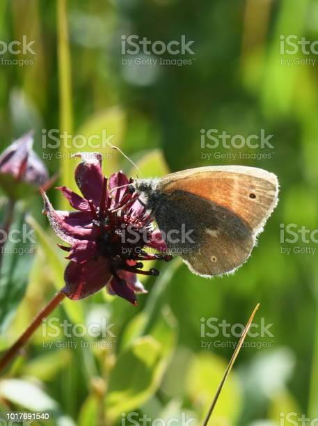 Coenonympha tullia butterfly picture id1017691540?b=1&k=6&m=1017691540&s=612x612&h=vd4hmmfhna42z 3k6oht3cgdv6p6otl82pgetr 5bpy=