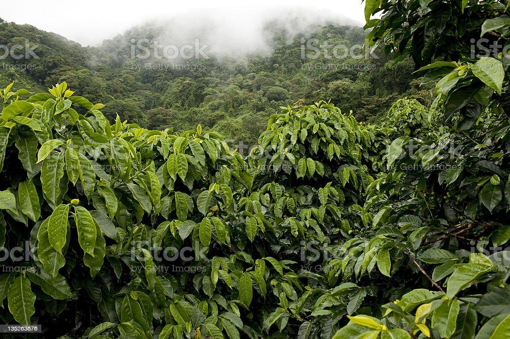 Coffe farm stock photo