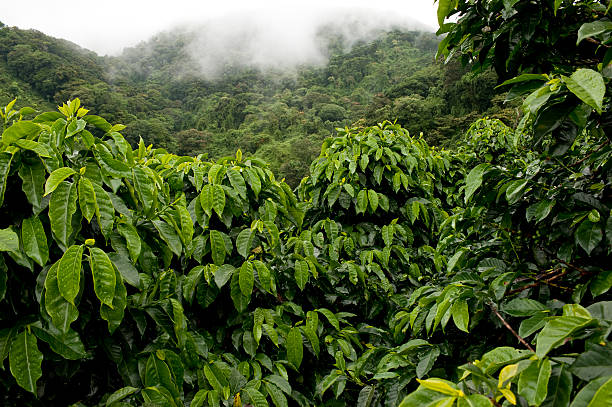 kaffee farm - plantage stock-fotos und bilder