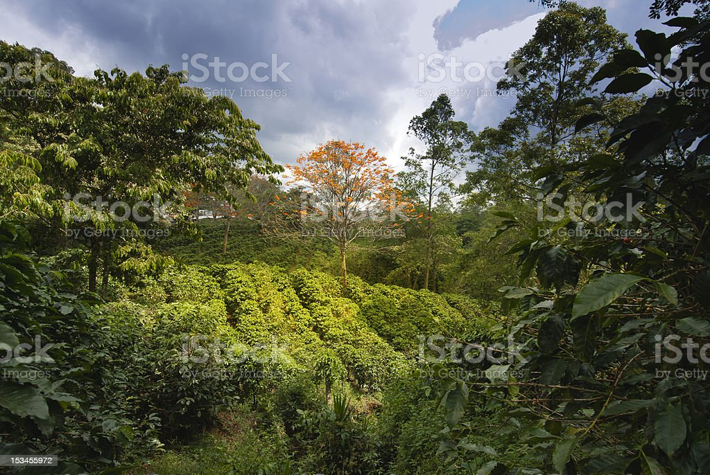 Coffe plantation stock photo