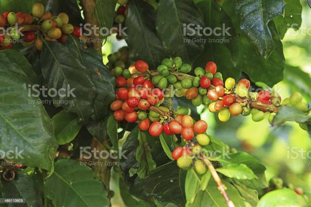 coffee bean on the coffee tree stock photo