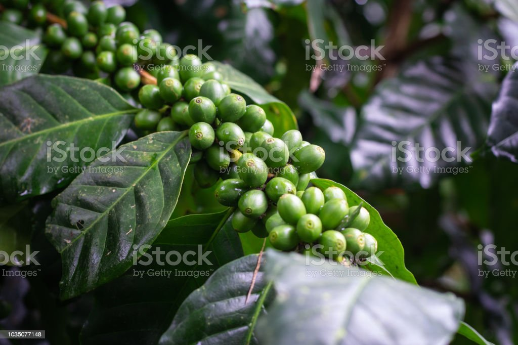 Coffee bean on tree stock photo