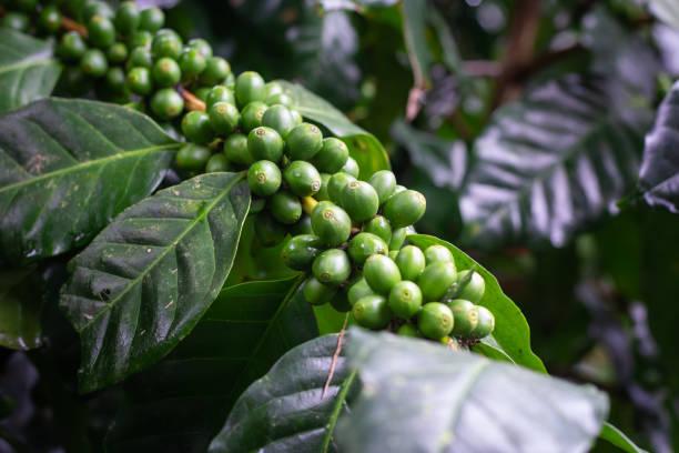 Coffee bean on tree stock photo
