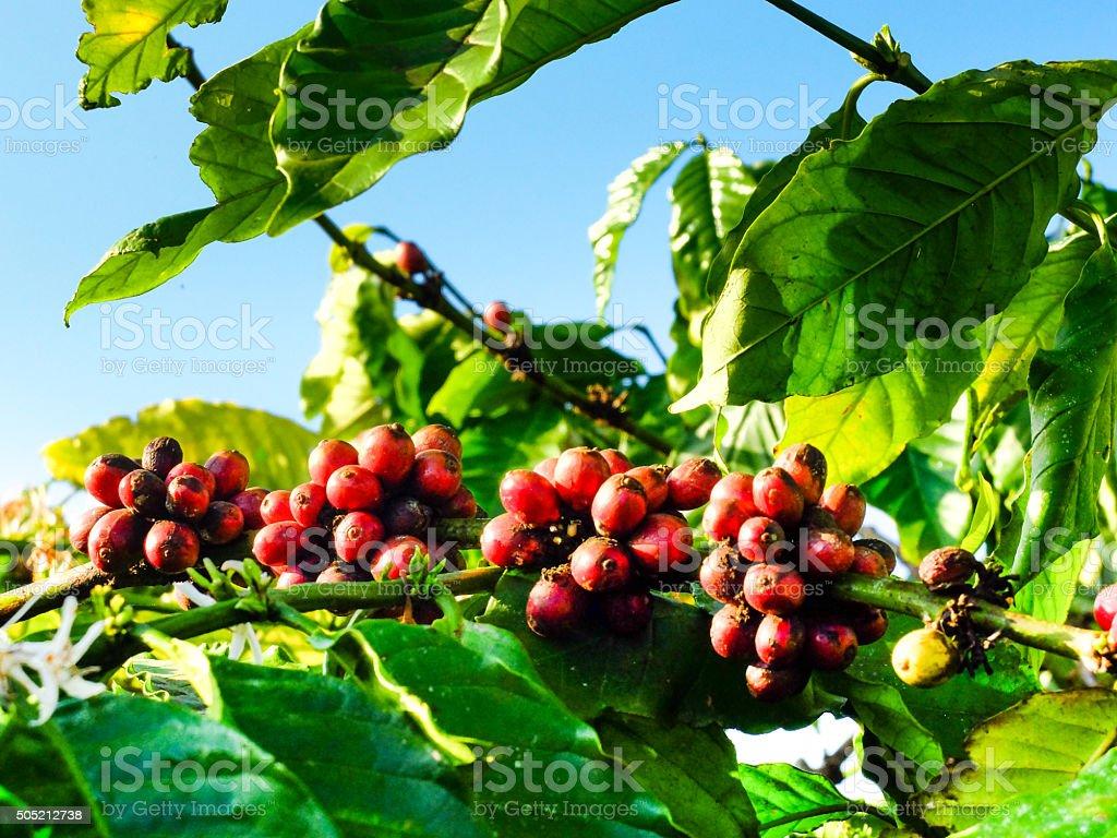 coffee bean ripening on tree with sunlight. stock photo