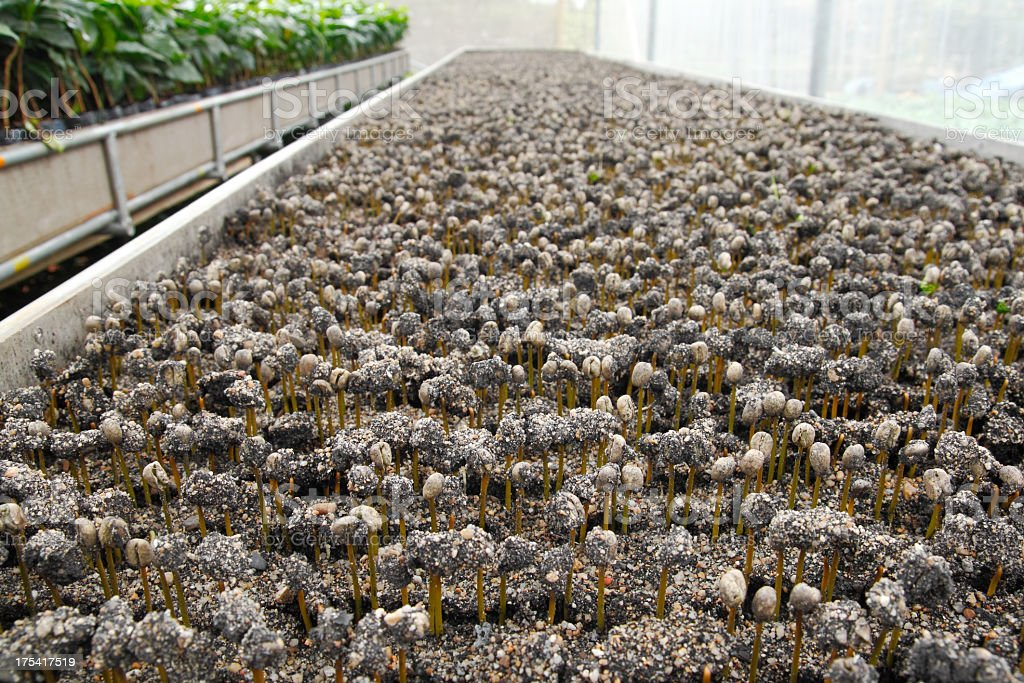 Coffee bean seedling stock photo