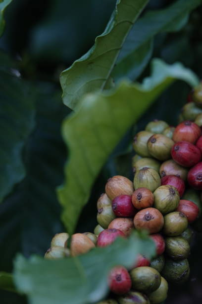 coffee beans, branches on tree with leaves