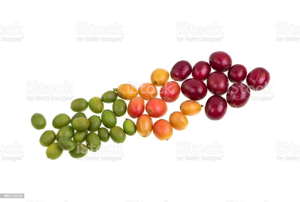 Coffee Beans Degrees of Ripeness royalty-free stock photo