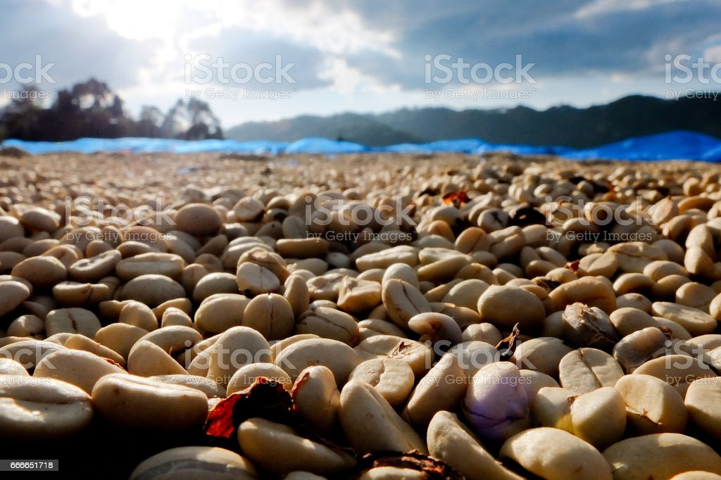 Coffee beans dried in the sun stock photo