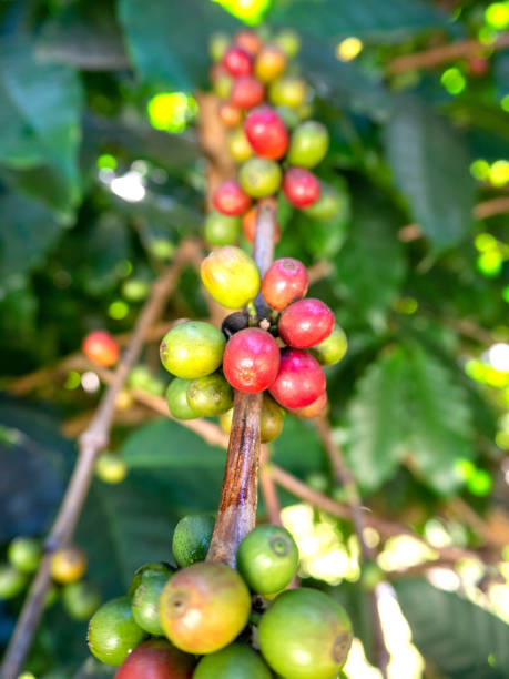 Coffee beans  From trees coffee stock photo