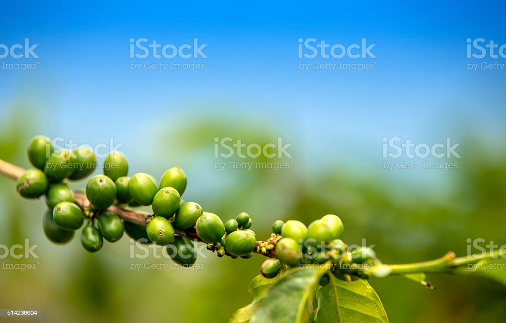 Coffee Beans Growing on a Branch stock photo