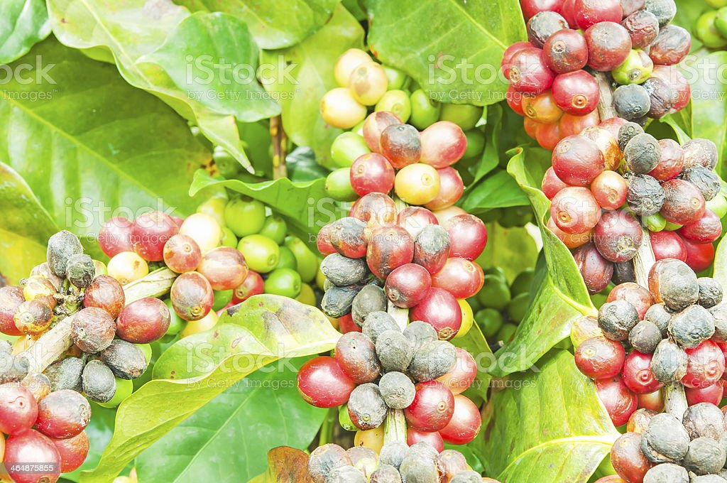 coffee beans in natural stock photo