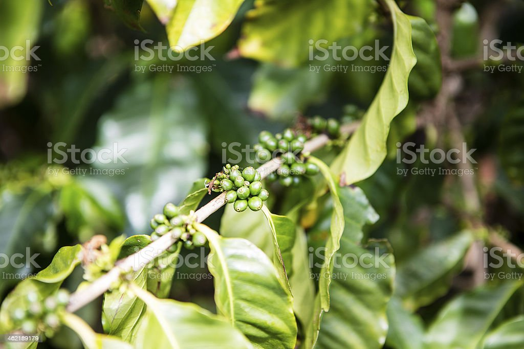 Coffee beans in the nature stock photo