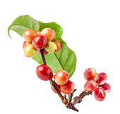 Coffee beans on a branch of tree