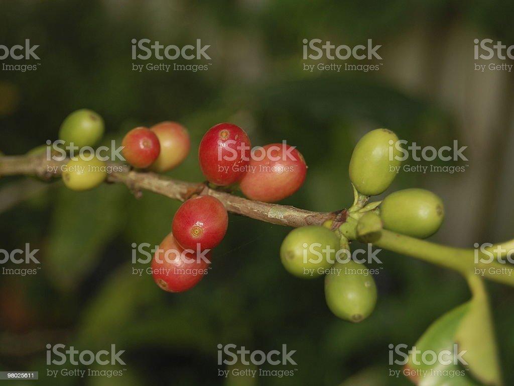 커피 원두 트리 royalty-free 스톡 사진