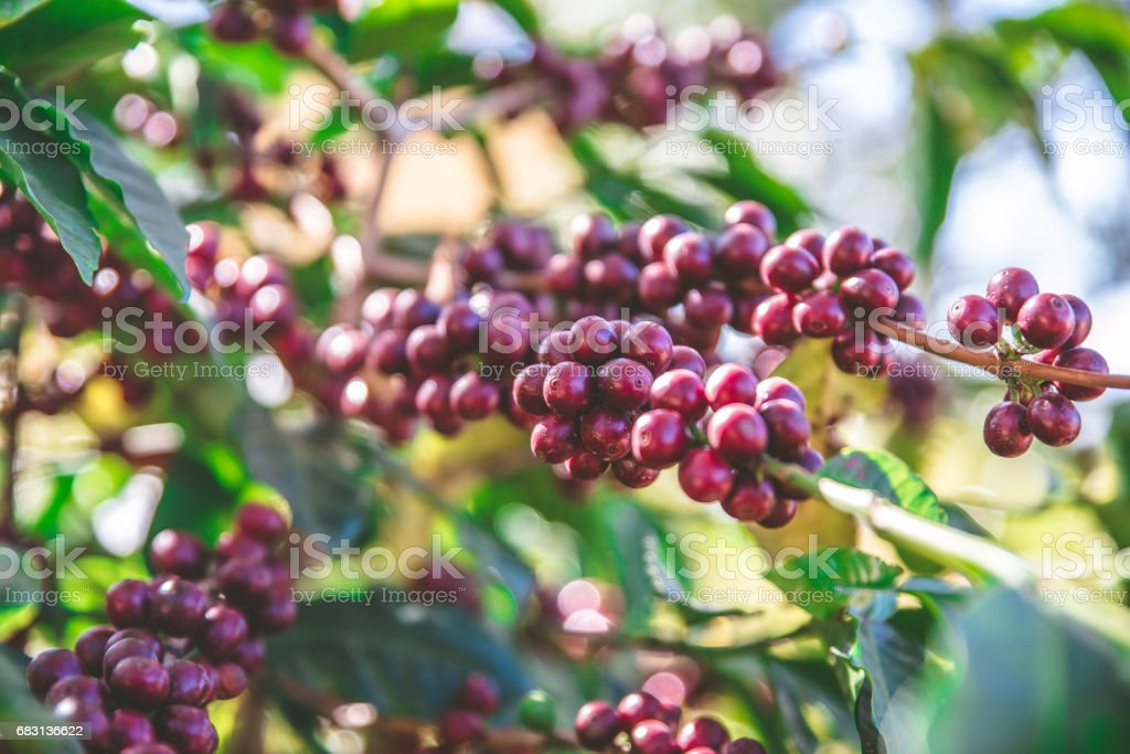 Coffee beans on tree - ripe and mature coffee beans in the harvest time royalty-free 스톡 사진