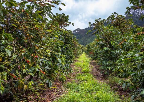 Kaffeebohnen auf Bäumen – Foto
