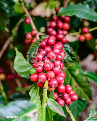 Coffee beans on twig, Parana State, Brazil.