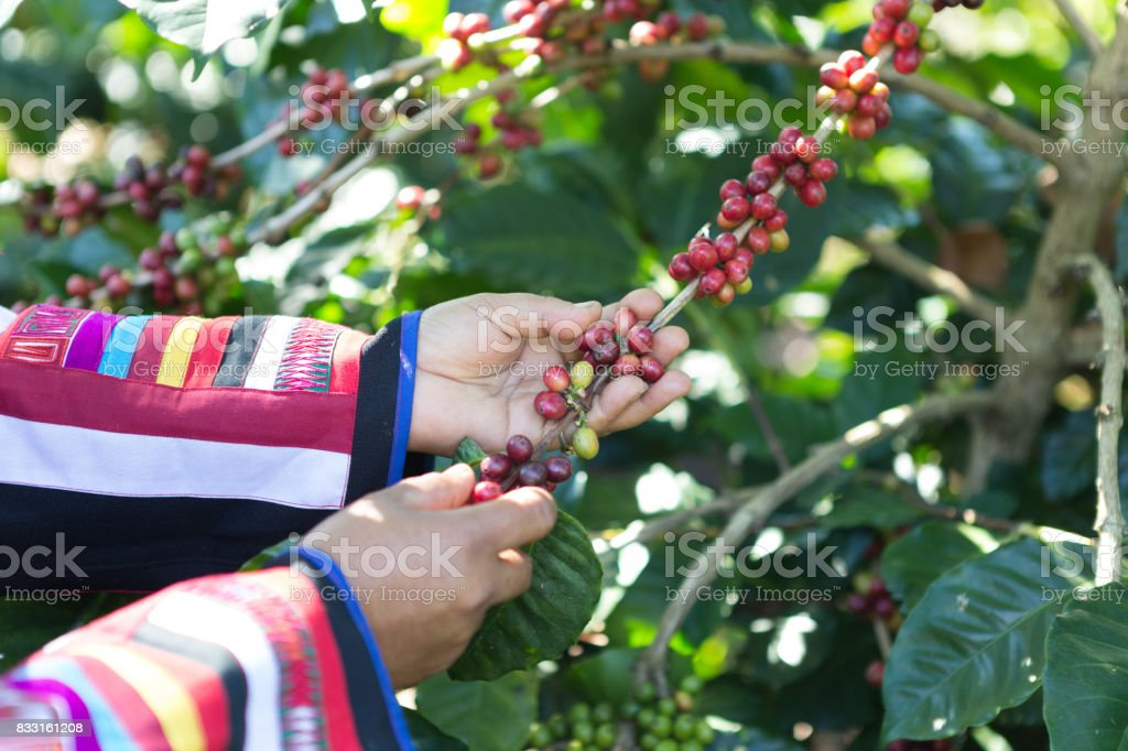 Coffee beans ripen on the tree waiting to reap the productivity of people to lead the process of making coffee we drink it anyway. stock photo