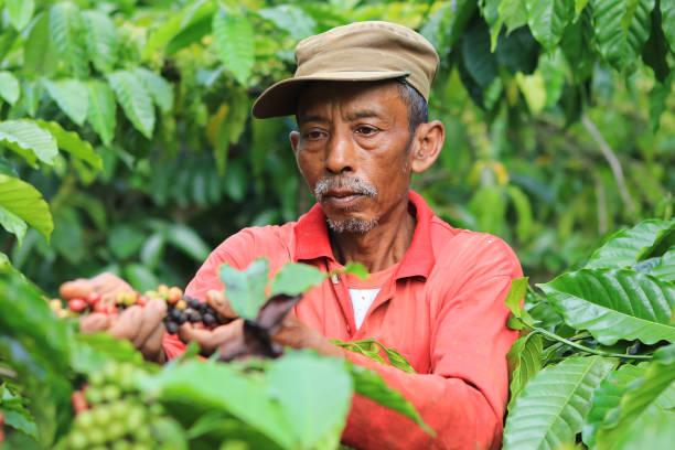 coffee beans ripening in kuningan district, west java, indonesia - coffee farmer foto e immagini stock