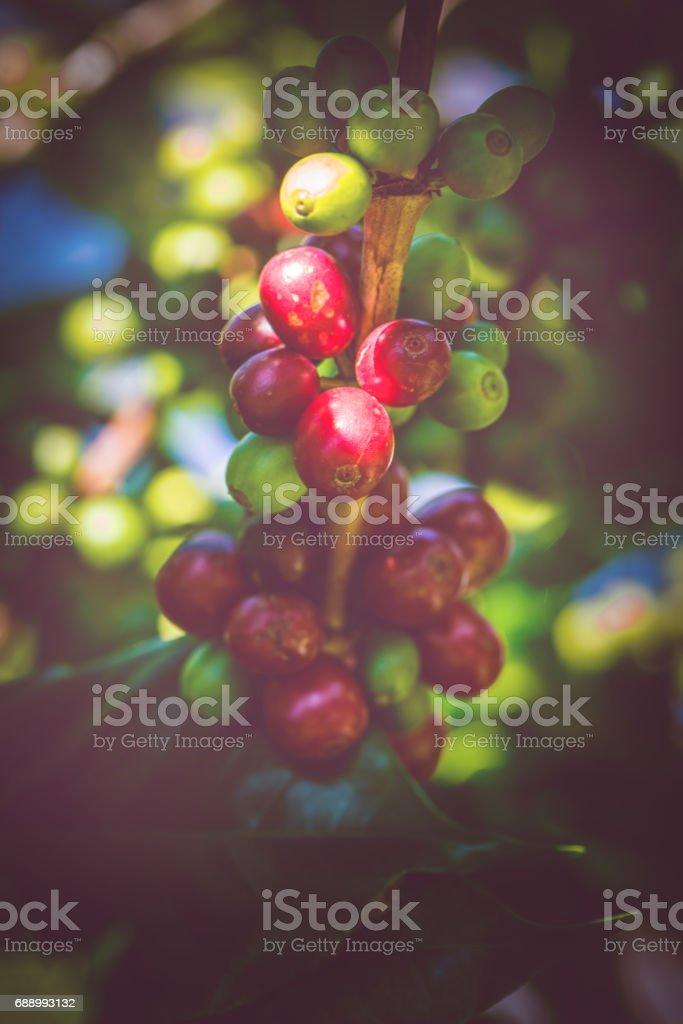 Coffee beans ripening on tree stock photo