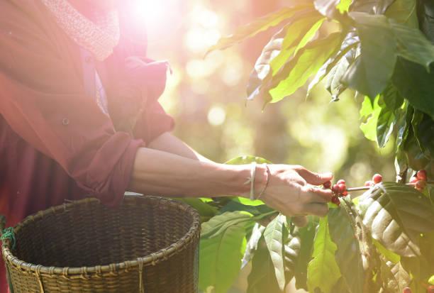 kaffeebohnen ripening - plantage stock-fotos und bilder