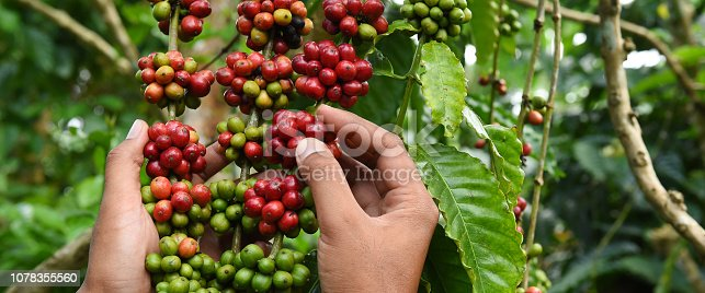 istock Coffee beans ripening 1078355560