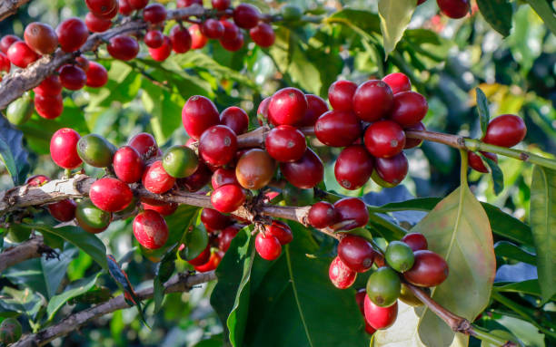 Kaffee wurde auf Baum im Café Plantage – Foto