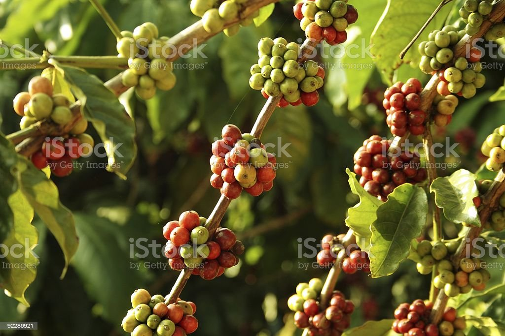 Coffee berries at a plantation in India stock photo