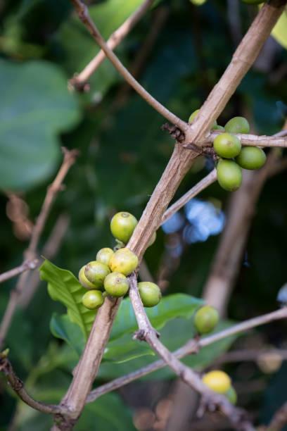 Coffee Berries Growing on a Tree stock photo