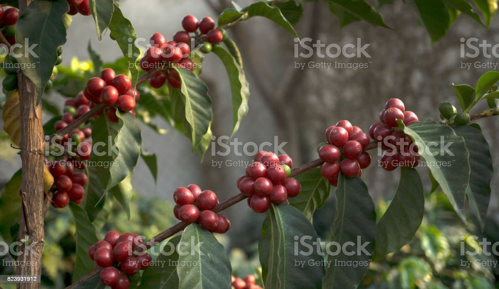 Coffee branchs stock photo
