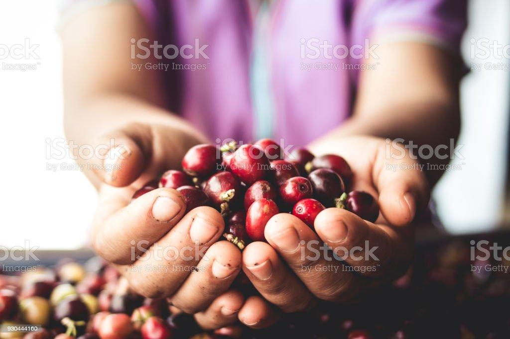 Kaffeekirschen Arabica in Hand Südost-Asien – Foto