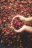 Coffee cherries arabica in hand Southeast Asia