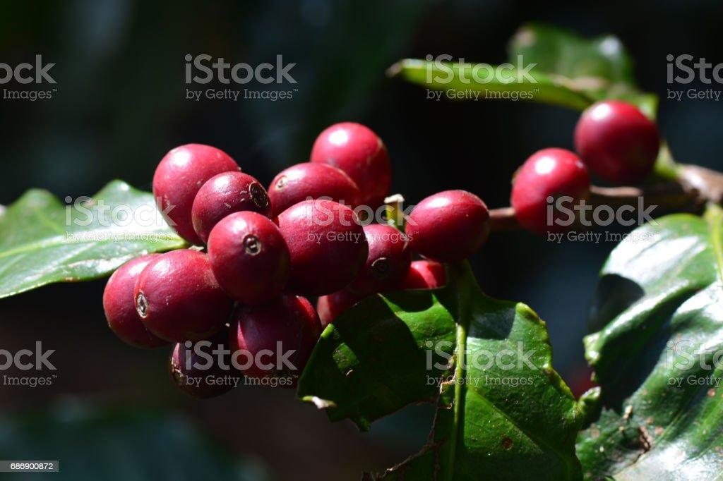 coffee cherries or coffee berries on Arabica coffee tree stock photo
