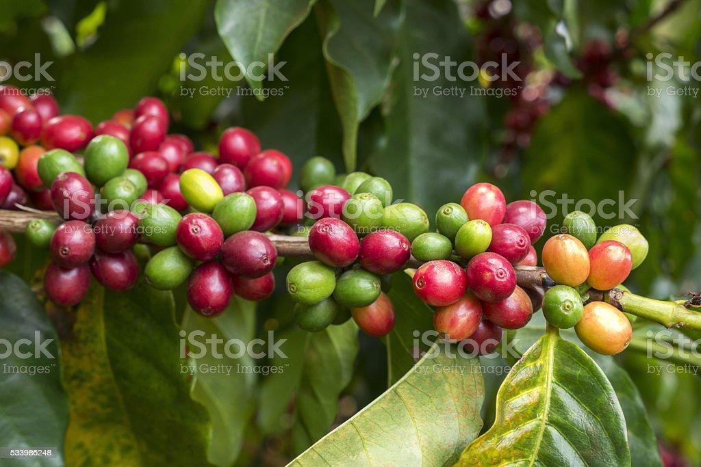 Coffee cherries stock photo