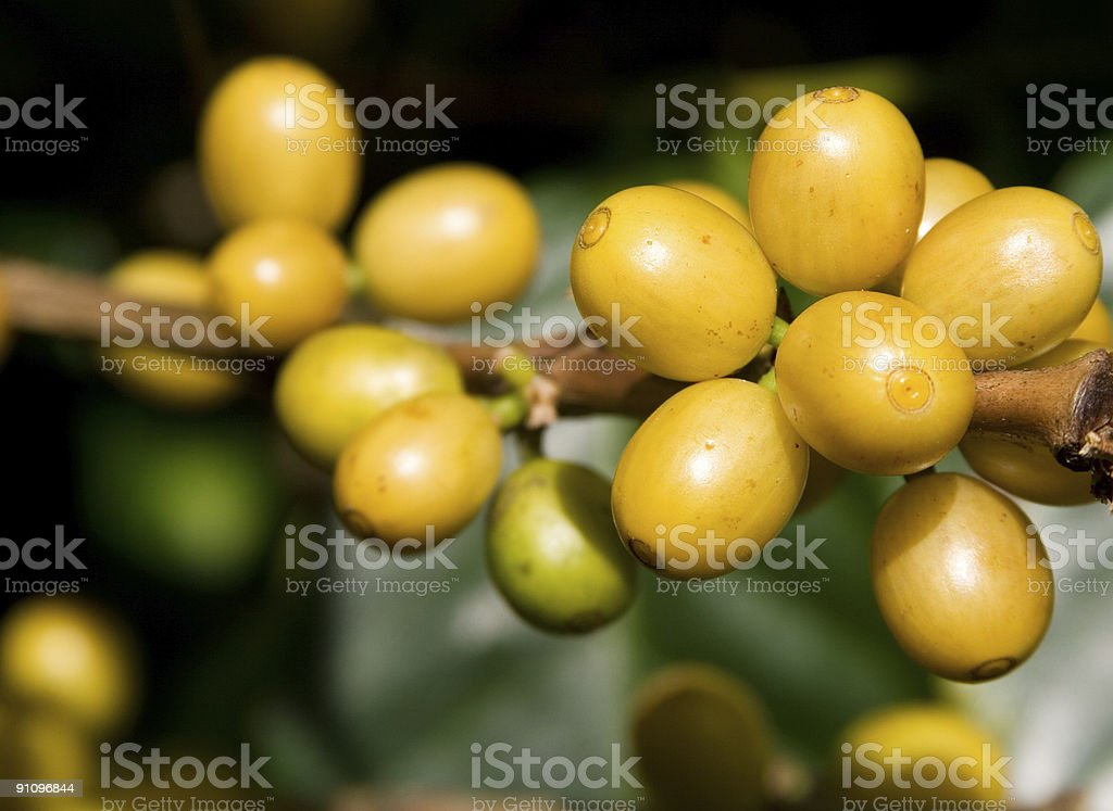 Coffee Cherries royalty-free stock photo