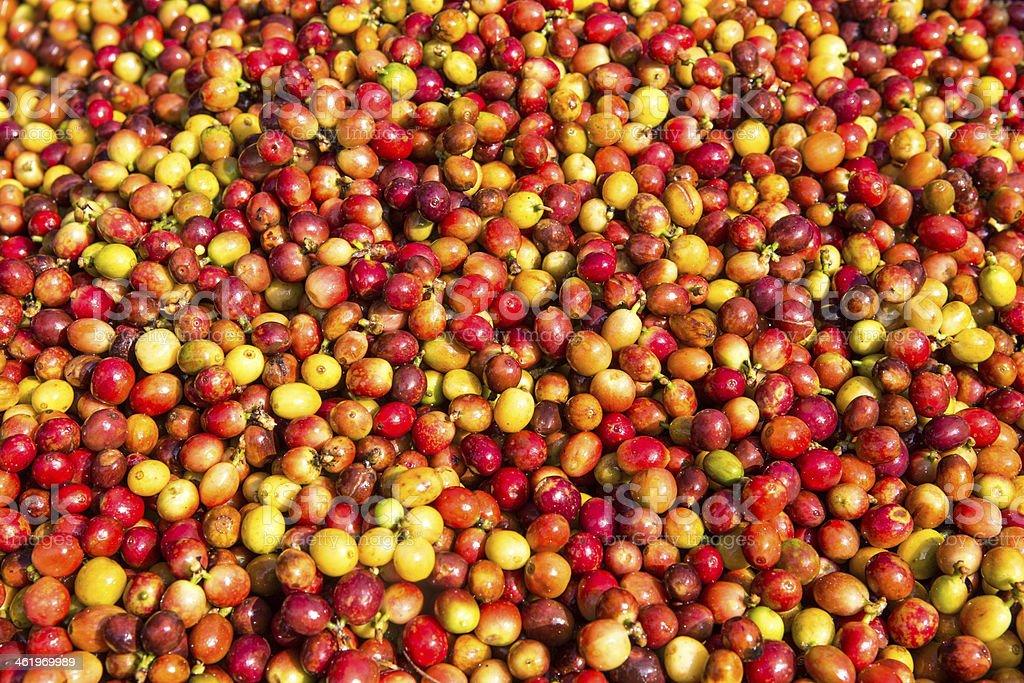 coffee cherry stock photo