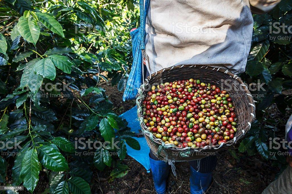 Coffee farmer picking ripe cherry beans. stock photo