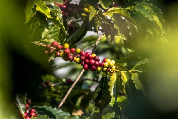 Coffee field in São Paulo State, Brazil stock photo