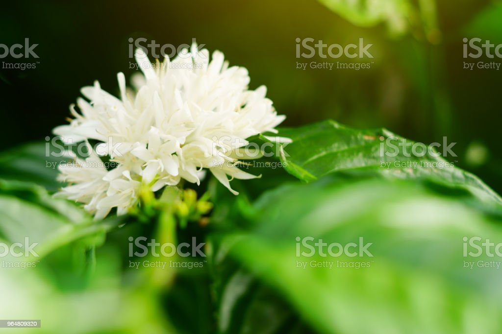 Coffee flower blossom on green tree branch. royalty-free stock photo