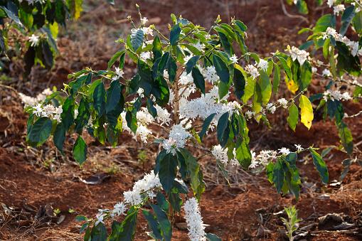 咖啡花 Blossomming 在咖啡館種植園 照片檔及更多 力量 照片