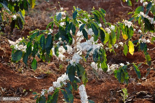 Coffee Flower Blossomming In Cafe Plantation Stock Photo & More Pictures of Agricultural Field