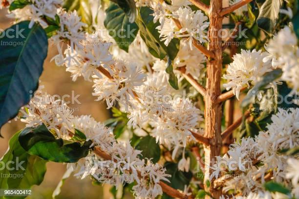 Kwitnący Kwiat Kawy Na Plantacji Kawiarni - zdjęcia stockowe i więcej obrazów Drzewo